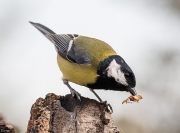 Mallerenga carbonera  (Parus mayor