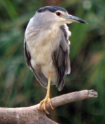 Martinet de Nit ( Nycticorax nycticorax)