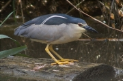 Martinet de nit (Nycticorax nycticorax)