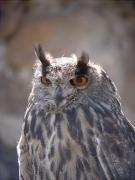 Grand duc, búho real, hibou grand-duc, eagle owl (Bubo bubo)